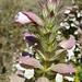 Acanto ou Erva gigante // Bear's Breech (Acanthus mollis)
