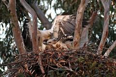 Female Arriving At Nest, 16th September