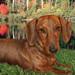 """Wyatt, Mr. November 2009 """"Rescue Dachshund"""""""