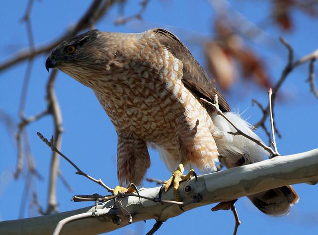 Cooper S Hawk Male Cooper S Hawk Accipiter Cooperii Is
