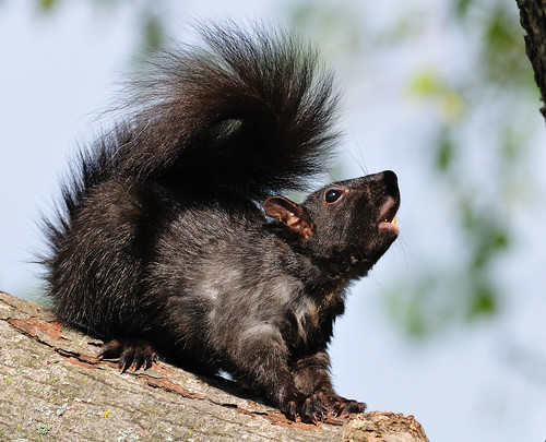 Howl of the Squirrel!!  Ahh-OOOOOO | by Pete Zarria