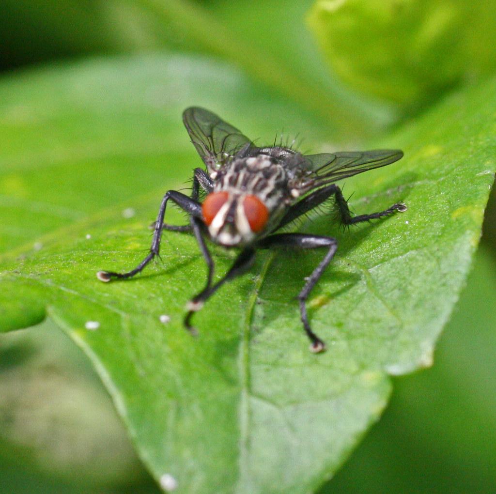 Mouche domestique la mouche domestique est certainement le flickr - Pourquoi les mouches piquent ...