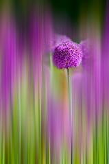 Ornamental Onion Allium 'Purple Sensation' | by georgianna lane