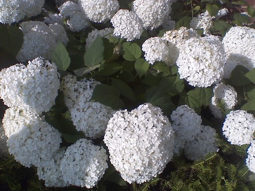 big puffy flowers