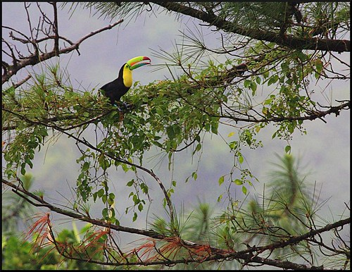 Keel-billed Toucan at Arenal Observatory Lodge | by ARKNTINA