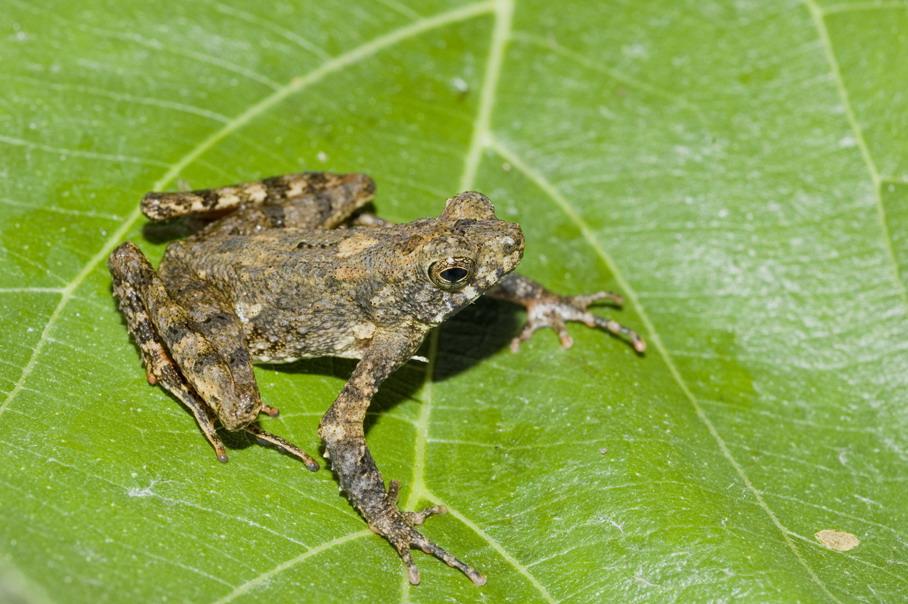 Длинноногая стройная жаба (Leptophryne borbonica), фото фото бесхвостые амфибии
