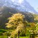 Grindelwald in spring