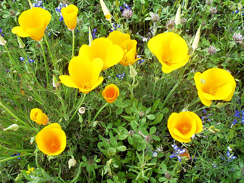 Our California State Flower the Golden Poppy | by Wilbur Hot Springs