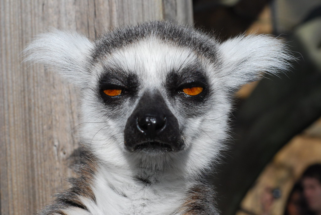 Tired and Disregarding Lemur | Pictures from a day at