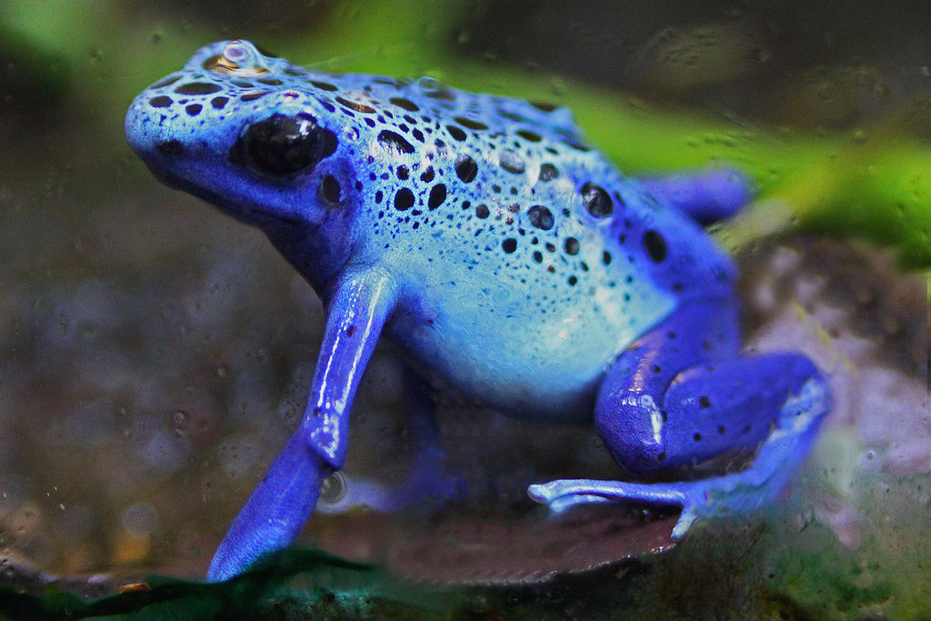 Poison Dart Frog A Sapphire Blue Posion Dart Frog At The