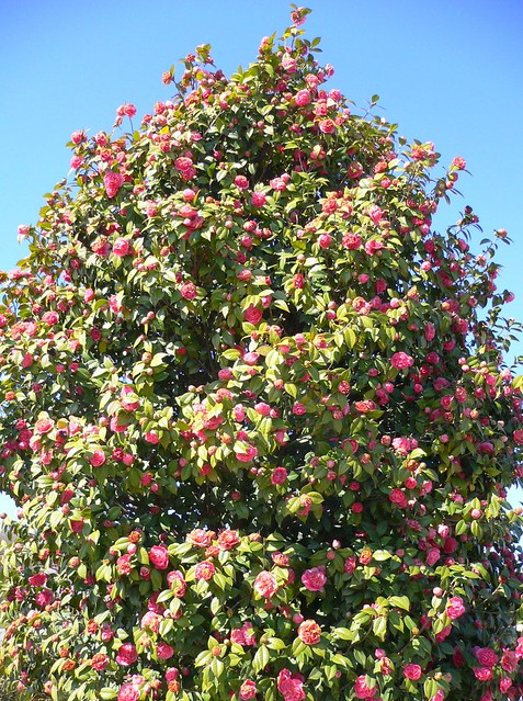 Tree Of Quot Camellia Japonica Quot The Japanese Camellia