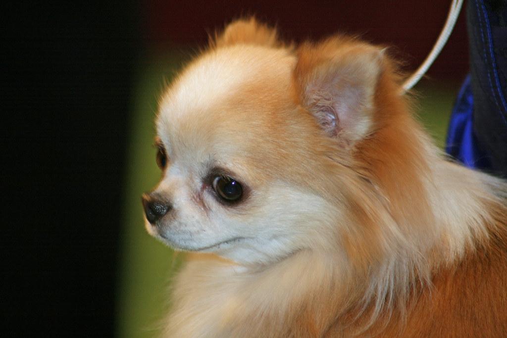 Best Teacup Dog Breeds