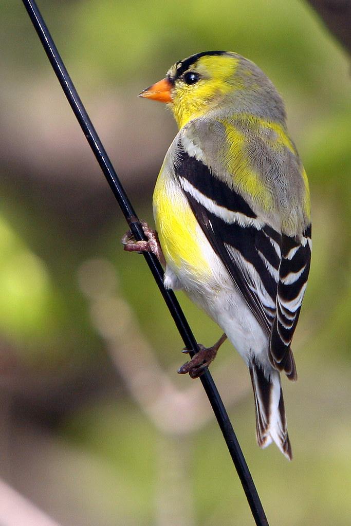 American Goldfinch   Ontario Backyard Birds   Dan   Flickr