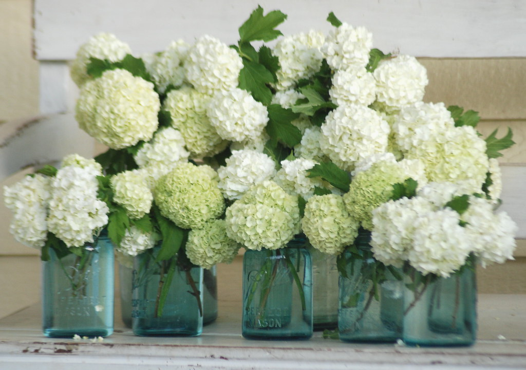apple hydrangeas