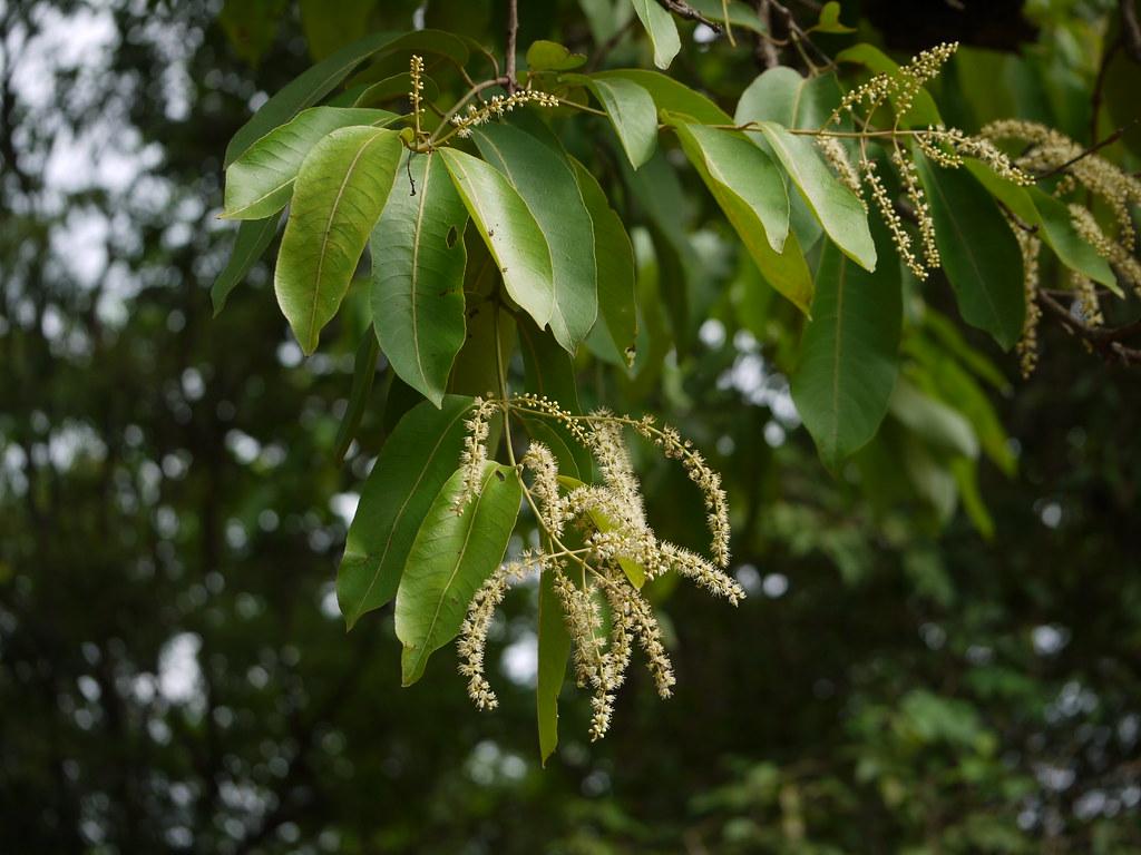 Terminalia elliptica combretaceae rangoon creeper for Terrace meaning in tamil