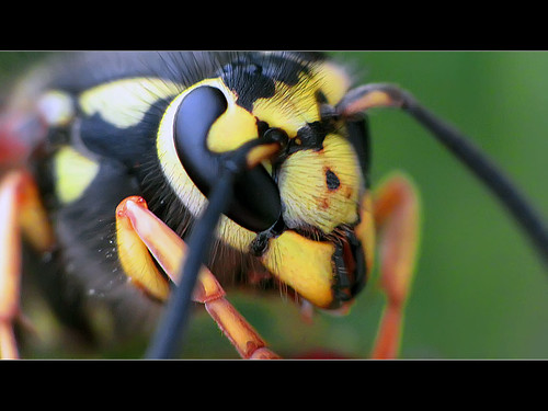 Yellow Jacket 1 - Macro | by David Gn Photography