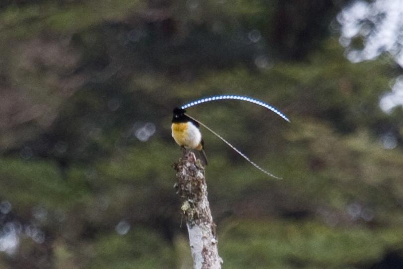 King-of-Saxony Bird-of...
