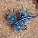 Glaucus atlanticus  -  Blue Dragon   mDSCN4127b