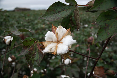 Cotton | by Gene Bowker