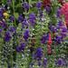 Salvia horminium