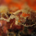 Pygmy Pipedragon (Kyonemichthys rumengani)