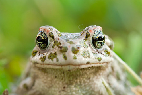 Green Toad | by kaibara87
