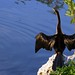 Everglades National Park - Anhinga Bird