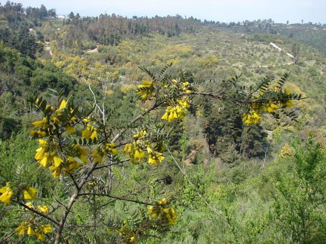 Fabaceae sophora macrocarpa j e sm jard n bot nico for Jardin botanico vina