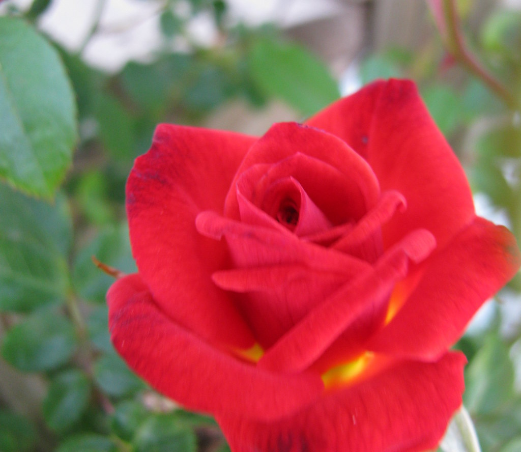 A glowing red rose to you from me ok enough with for Do black roses really exist