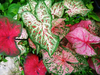 Caladium leaves brightening shade garden | by pawightm (Patricia)