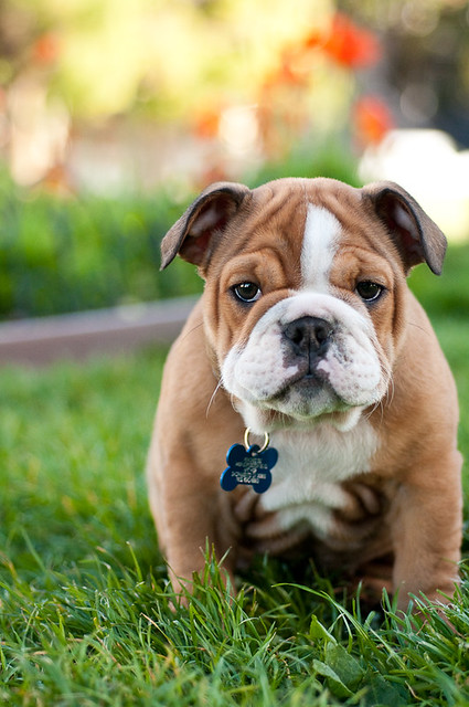 Are Bull Dogs Good Apartment Dogs