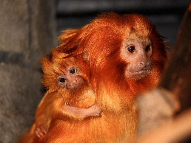 golden lion tamarin reintroduction program The golden lion tamarin (glt: leontopithecus rosalia) is an endangered primate endemic to the atlantic coastal rainforest of brazil with less than 8% of their original habitat remaining, these small monkeys face remarkable challenges and an uncertain future.