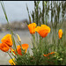 May 17, 2010-Poppies by the Columbia River