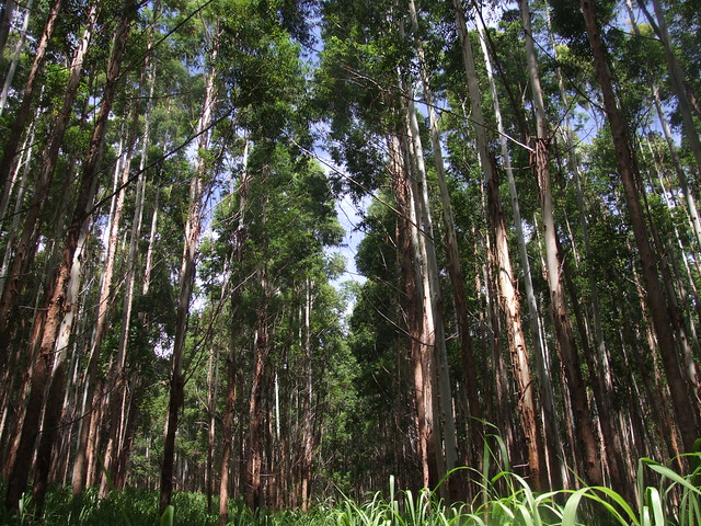 Eucalyptus Grandis Stand