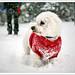 Snowy Moo