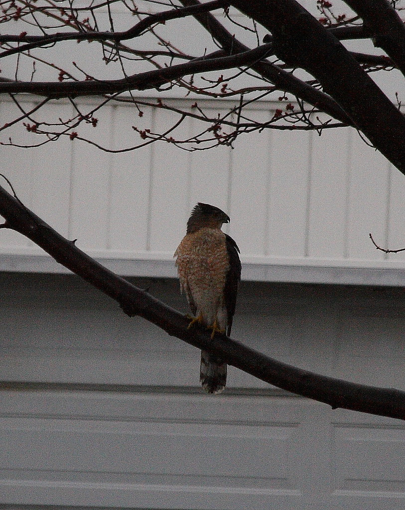 cooper hawk this one came buzzing through my backyard