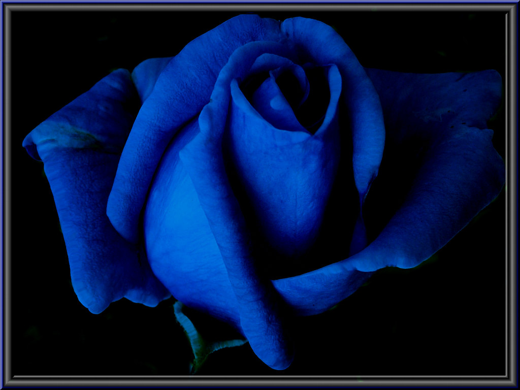 Bluerose A Photoexperiment With Psp Xi Elbfoto Flickr
