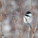 Chickadee in a Snow Storm - Project 365 Day 65
