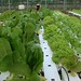 Romaine Lettuce on the grow at Chena Hot Springs
