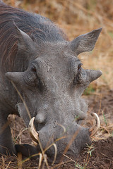 Warthog | by Thomas Retterath (+5 mio views)