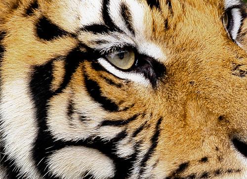 Sumatran Tiger Close Up The Sumatran Tiger Has Heavy