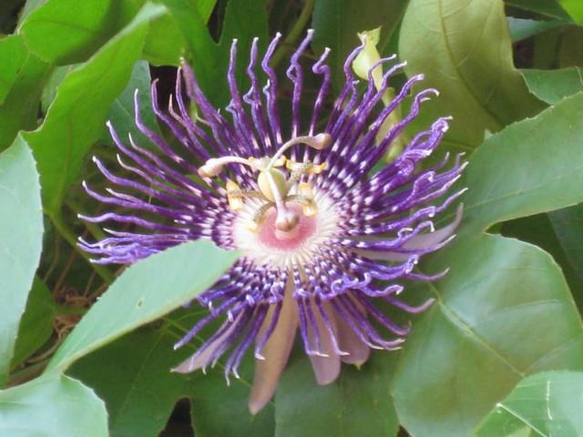 Blue Passion Flower Passion Of Jesus Explore 168