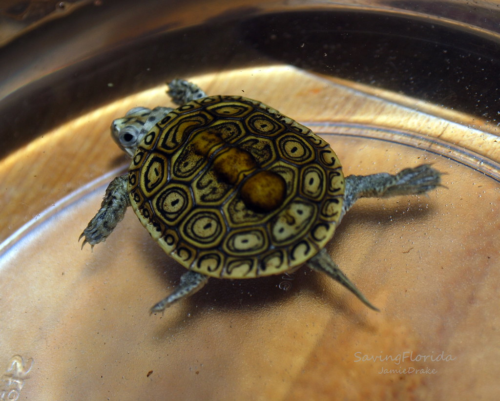 Diamondback Terrapin Hatchling If you would like to use th ...
