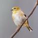 Carduelis tristis (American Goldfinch)