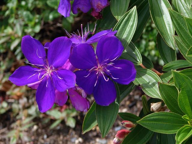 Tibouchina Purple Glory Tree The Flower Of Tibouchina