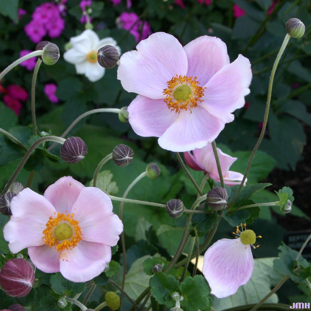 anemone hupehensis september charm 02 hagstrom