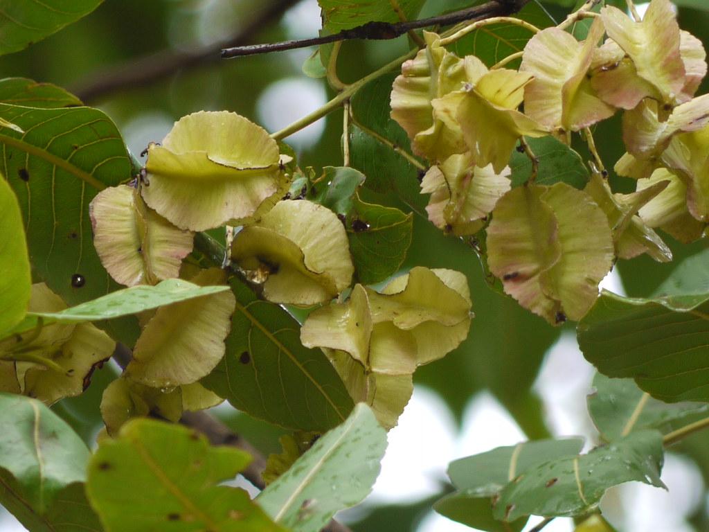 Karimatti kannada combretaceae rangoon for Terrace meaning in tamil