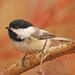 Black-capped Chickadee DSC_0740