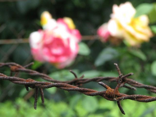 I Never Promised You a Rose Garden | Robin | Flickr