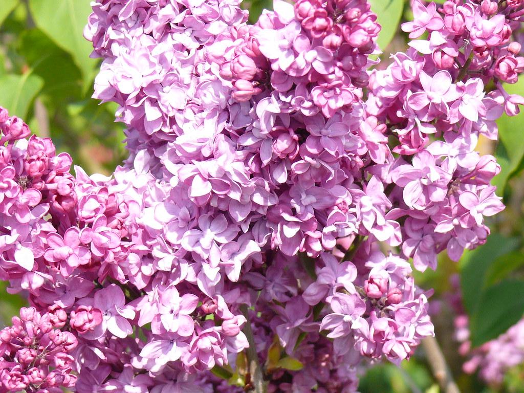 lilas rose les lilas de nos jardins fleurissent en mai il flickr. Black Bedroom Furniture Sets. Home Design Ideas
